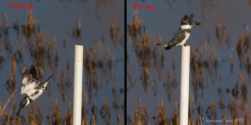 birds kingfisher birdinflight bombayhook 400mmf56lusm canon7d