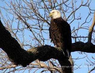 07 July - Bald Eagle visits my back yard in White Bear Lake, Minnesota