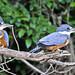 Ringed Kingfisher (Ian Bruce)