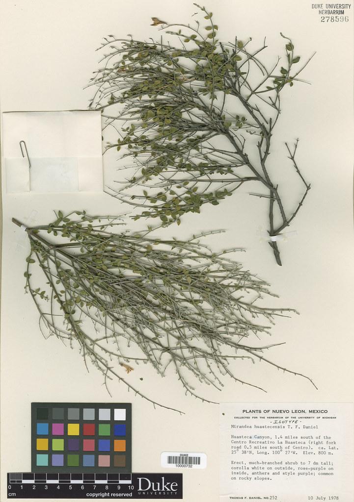 Acanthaceae_Mirandea huastecensis