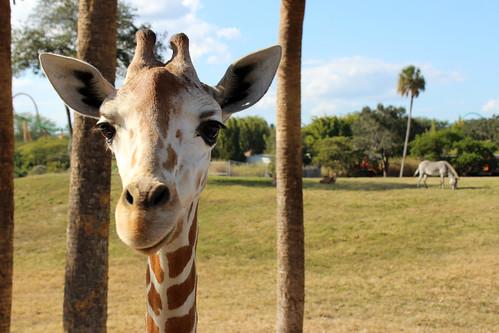 [フリー画像素材] 動物 (哺乳類), キリン ID:201212221000