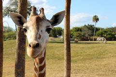 [Free Images] Animals (Mammals), Giraffes ID:201212221000