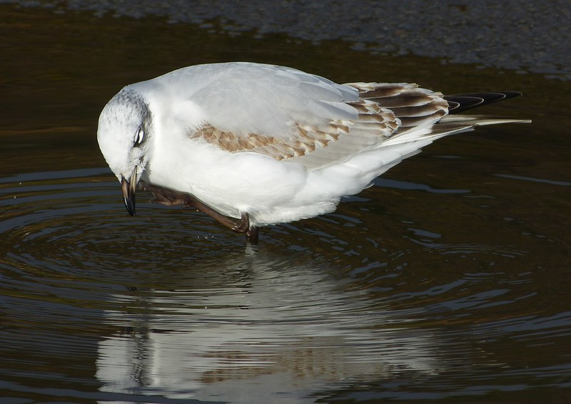 29119 - Mediterranean Gull, Bracelet Bay