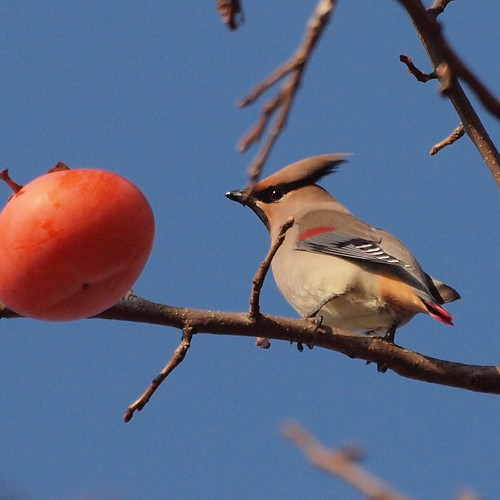 Here comes the Japanese Waxwing