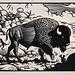Bison bison - Wichita Mountains, Oklahoma by Thomas Shahan 2