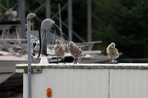 Edmonds Marina Birds
