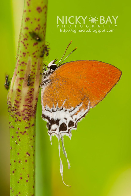 Branded Imperial (Eooxylides tharis distanti) - DSC_5941