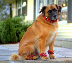 puppy(0.0), tibetan spaniel(0.0), golden retriever(0.0), dog breed(1.0), animal(1.0), dog(1.0), leonberger(1.0), pet(1.0), mammal(1.0), nova scotia duck tolling retriever(1.0),