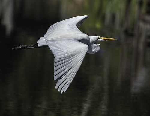 Lake Istokpoge Great Egret In-Flight