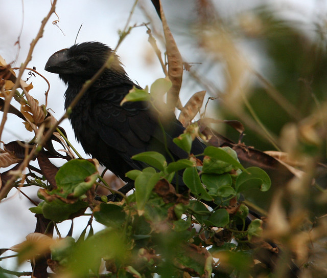 smooth billed ani 01