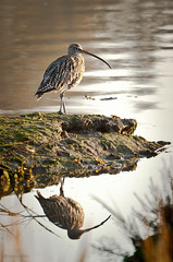 Curlew on the Deben
