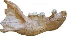mandibola iena