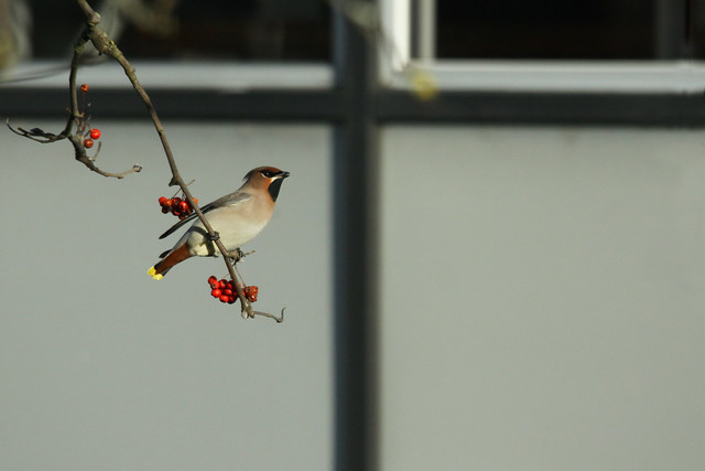 Waxwing- The Long View
