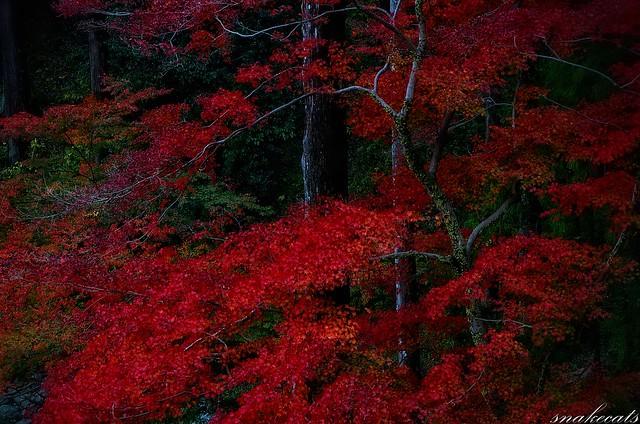 「深紅」 長谷寺 - 奈良