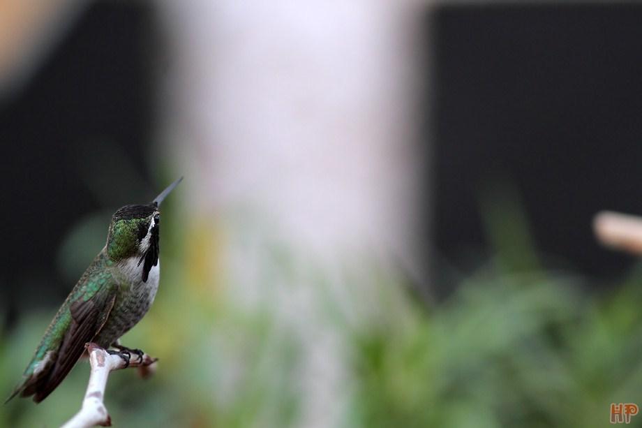 Costa's X Anna's Hummingbird 112212