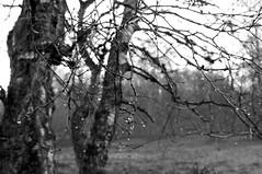 Foggy morning walk in Ashridge Woods