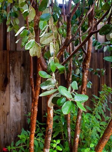 Pineapple Guava (Feijoa) Tree