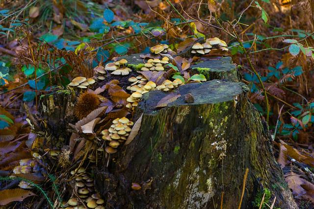 Grupo de Psilocybe fascicularis rematando un tocón de madera