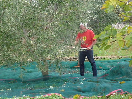 John harvests our olives 01