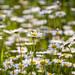 Daisies ... spring '12 by Ken Scott