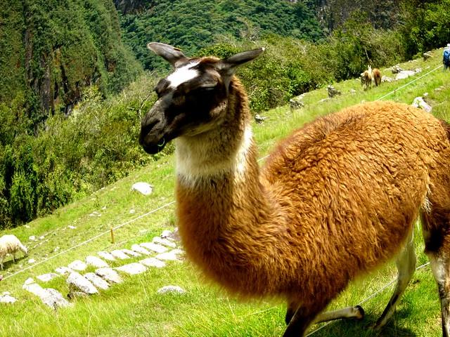 llama eating at machu picchu
