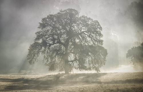 california morning autumn sunlight mist fall fog sunrise landscape oak ngc oaks crepuscularrays nationalgeographic catheysvalley mercedcounty treesdiestandingup hornitosroad