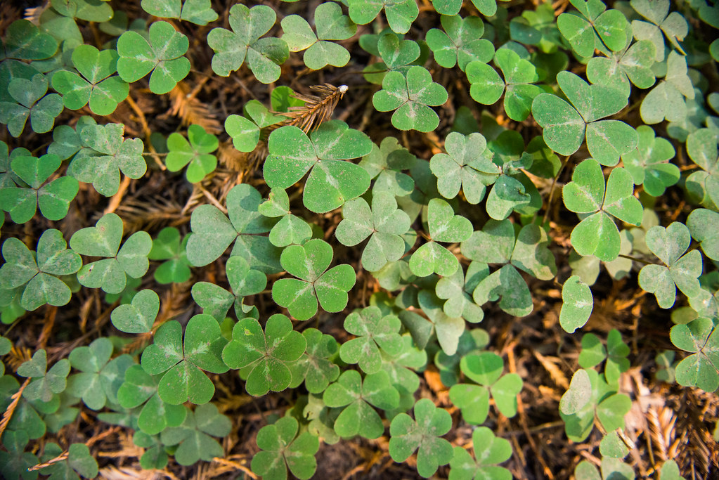 Clover undergrowth, Muir Woods National Monument