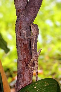 攀爬在樹上具有良好保護色的攀木蜥蜴。 王力平攝