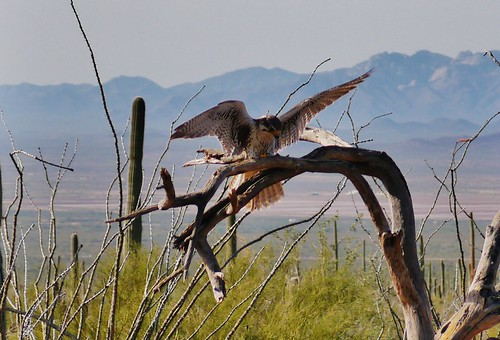 112812-060, Prairie Falcon