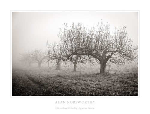 Old orchard in the fog by Alan Norsworthy