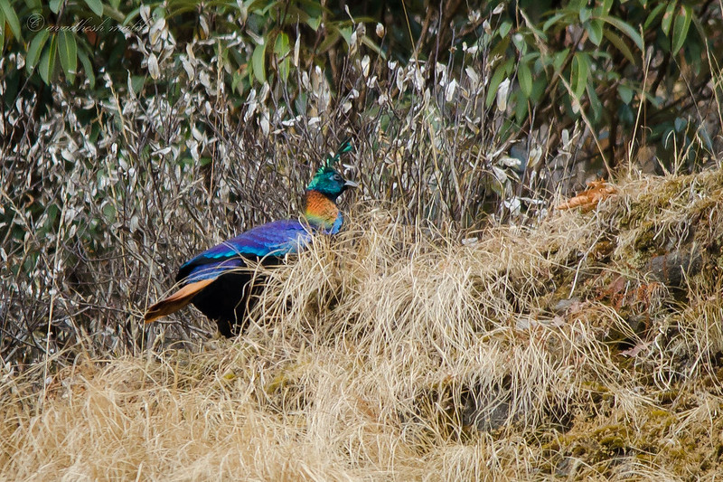 Himalayan Monal, Male... Lucky Shot