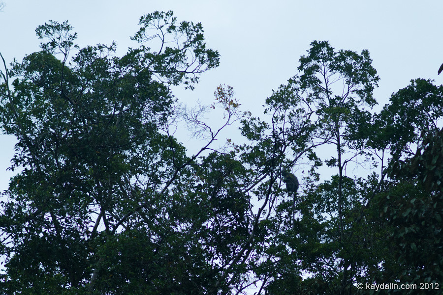 обезьяна носач в малайзии