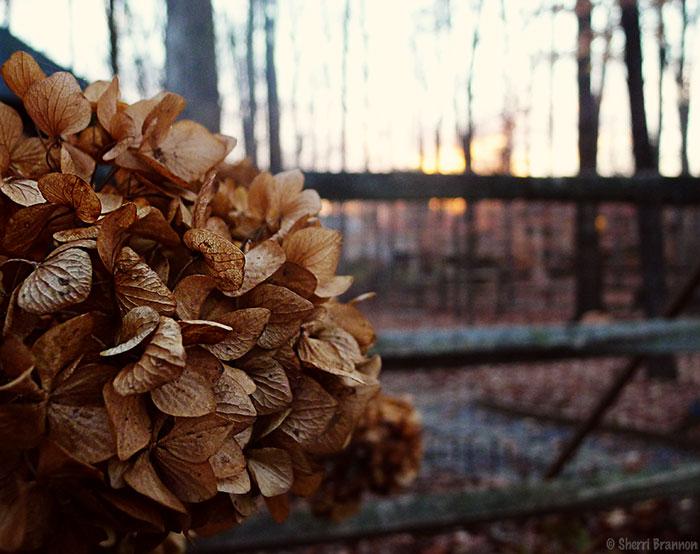 winter-hydrangea-sunset