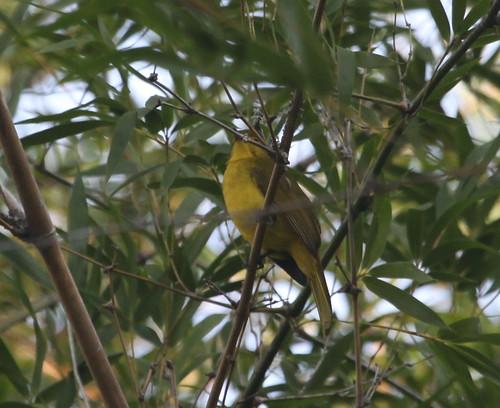 Yellow-browed bulbul, near Masinagudi, India 11/19/12