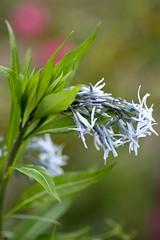 Amsonia illustris, Ozark Bluestar, Shining Bluestar