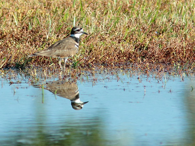 Killdeer 20121207