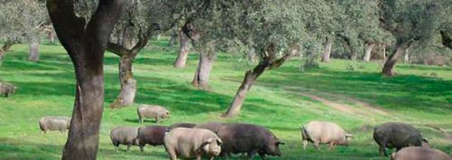 Cerdos en los prados de Huelva
