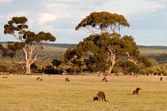 Kangaroo Island kangaroo Macropus fuliginosus fuliginosus