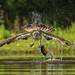 Visarend / Osprey / Balbuzard by Gladys Klip
