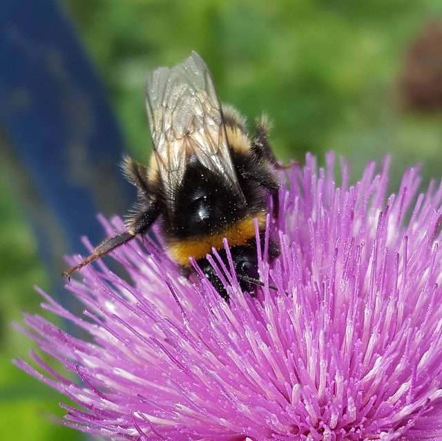 busy, busy bumblebee