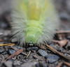 Pale tussock caterpillar