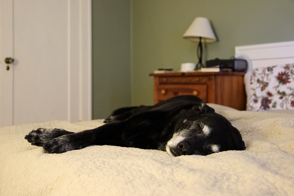 Our black lab Ellie sleeps on our bed in the air-conditioned bedroom on a hot summer's day