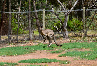 Kangaroo 08m