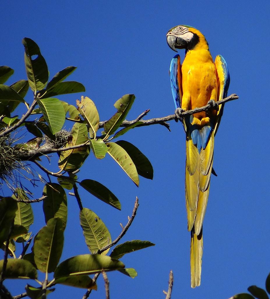 Guacamaya azul y amarillo [Blue-and-yellow Macaw] (Ara ararauna)