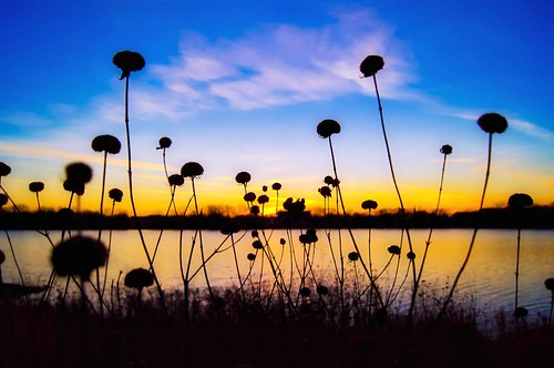 november flowers sunset lake minnesota silhouette crystal lightroom robbinsdale a55 mygearandme mygearandmepremium mygearandmebronze mygearandmesilver mygearandmegold picmonkey pwpartlycloudy