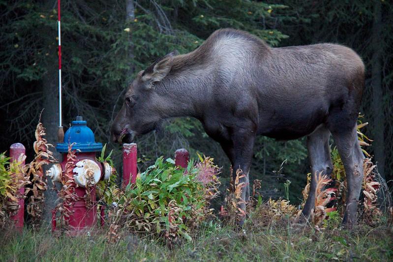 Alaskan Wildlife 20