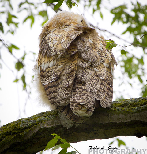 Bashful Owl by Ricky L. Jones Photography