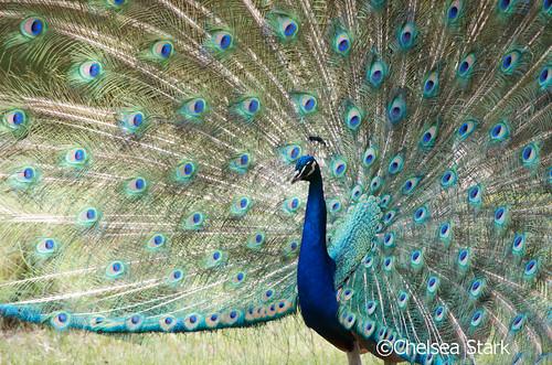 """""""peacock"""" ©ChelseaStark http://www.chelseastarkphotography.com by chelseastarkphotography.com"""