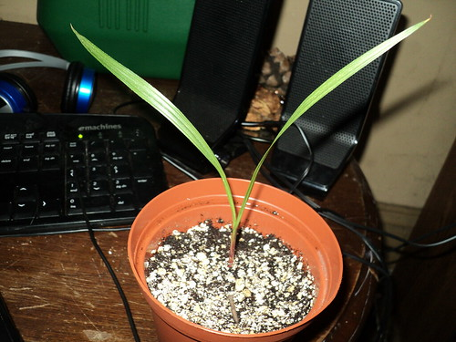 Mexican Fan Palm seedling 1 side view