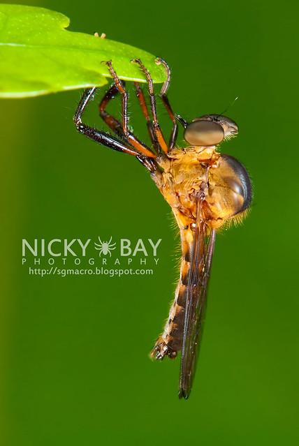 Robberfly (Asilidae) - DSC_3767